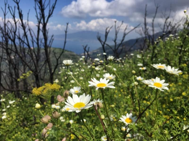 Blumenpracht im Frühling auf dem Monte Vico Alvano im Hintergrund der Vesuv